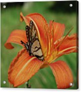 Butterfly On A Blooming Orange Daylily Flower Blossom Acrylic Print