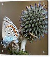 butterfly on a Echinops adenocaulon Acrylic Print