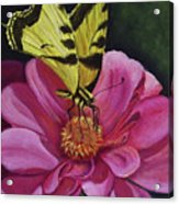 Butterfly On A Pink Daisy Acrylic Print
