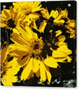 Butterfly On Balsamroot Acrylic Print