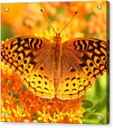 Butterfly On Butterfly Weed Acrylic Print