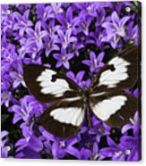 Butterfly On Campanula Get Mee Acrylic Print