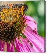 Butterfly On Echinacea  Acrylic Print