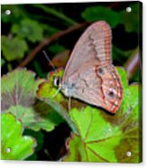 Butterfly On Geranium Leaf Acrylic Print