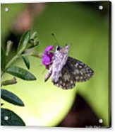 Butterfly On Heather Acrylic Print