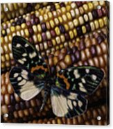 Butterfly On Indian Corn Acrylic Print