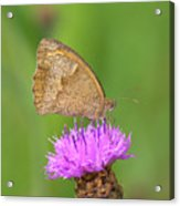 Butterfly On Knapweed Acrylic Print