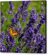 Butterfly On Lavender Acrylic Print