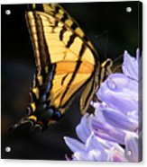 Butterfly On Lilly Acrylic Print