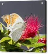 Butterfly On Magenta Flower Acrylic Print