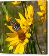 Butterfly On Mule's Ear Acrylic Print