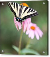 Butterfly On Pink Cone Flower Acrylic Print