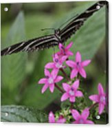Butterfly On Pink Flowers Acrylic Print
