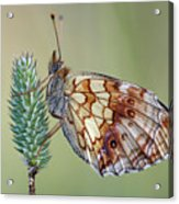 Butterfly On The Grass Acrylic Print