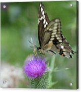Butterfly On Thistle Flower Acrylic Print