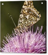 Butterfly On Thistle Acrylic Print