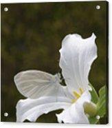 Butterfly On Trillium  Acrylic Print