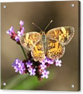 Butterfly On Verbena Acrylic Print