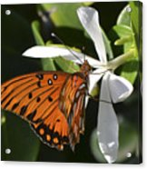 Butterfly On White Acrylic Print