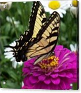 Butterfly On Zennia Acrylic Print