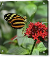 Butterfly Orange And Yellow Acrylic Print