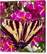 Swallowtail Butterfly Pink Acrylic Print