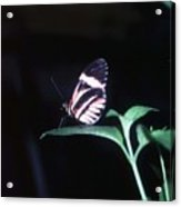 Butterfly Portrait Acrylic Print