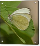 Butterfly Profile Acrylic Print