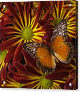 Butterfly Resting On Chrysanthemums Acrylic Print