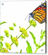 Butterfly Series #10 Acrylic Print