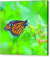 Butterfly Series #13 Acrylic Print