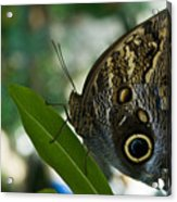 Butterfly Sitting Acrylic Print