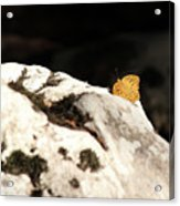 Butterfly Standing On Rock Acrylic Print