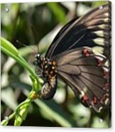 Butterfly Surprises Acrylic Print
