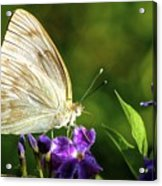 Butterfly Tea Time Acrylic Print