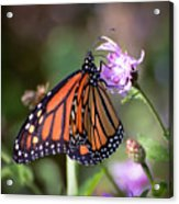 Butterfly - The Monarch  Acrylic Print