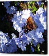 Butterfly Vi Acrylic Print