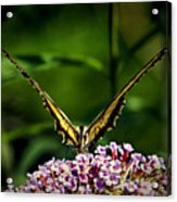 Butterfly Victory Acrylic Print