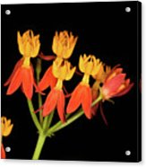 Butterfly Weed Acrylic Print