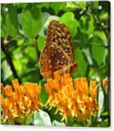 Butterfly Weed Fritillary Acrylic Print