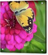 Butterfly Whispers Acrylic Print