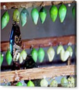 Butterfly With Butterfly Chrysalis 1 Acrylic Print