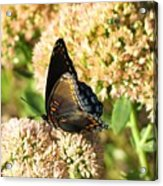 Butterfly1 Acrylic Print