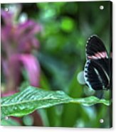 Butterfly3 Acrylic Print