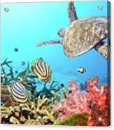 Butterflyfishes And Turtle Acrylic Print by MotHaiBaPhoto Prints