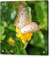Butterflywith Dots Acrylic Print