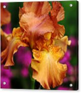 Butterscotch And Pink Acrylic Print