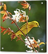 Buttery Yellow Warbler Acrylic Print