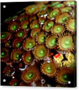 Button Polyps Acrylic Print