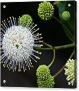 Buttonbush Flowers Acrylic Print